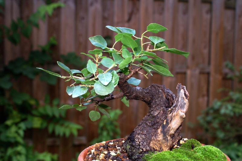 Prunus Mahaleb Pict0112