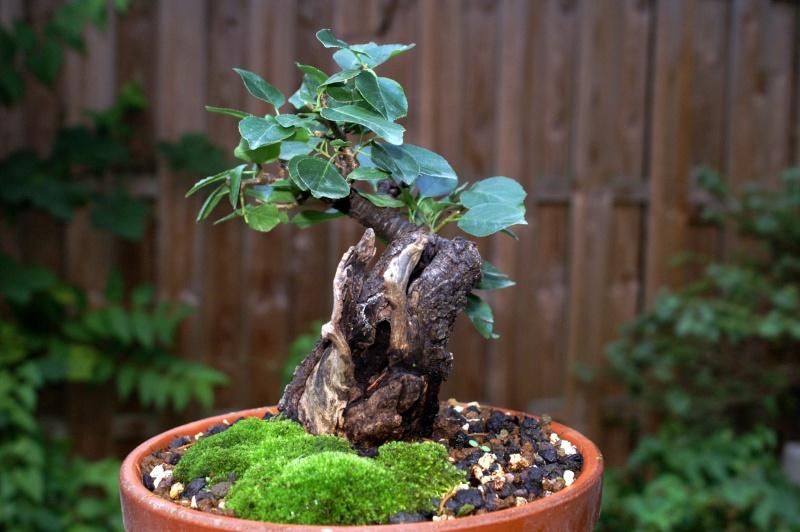 Prunus Mahaleb Pict0113