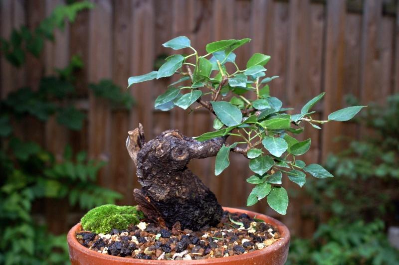 Prunus Mahaleb Pict0114