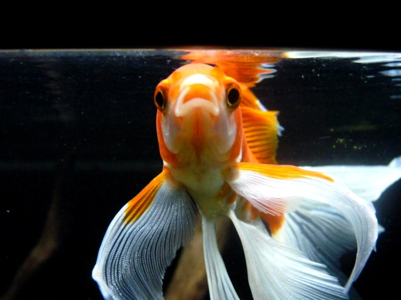 Le 140 litres de mes poissons rouges !  - Page 24 P1090510