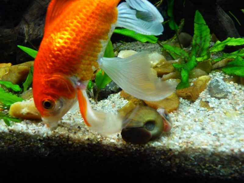 Le 140 litres de mes poissons rouges !  - Page 24 P1090512