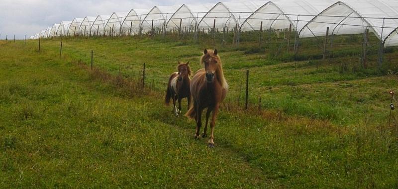 INDIANA - ONC poney typée shetland présumée née en 2000 - adoptée en juillet 2013 - Page 2 Imgp2410