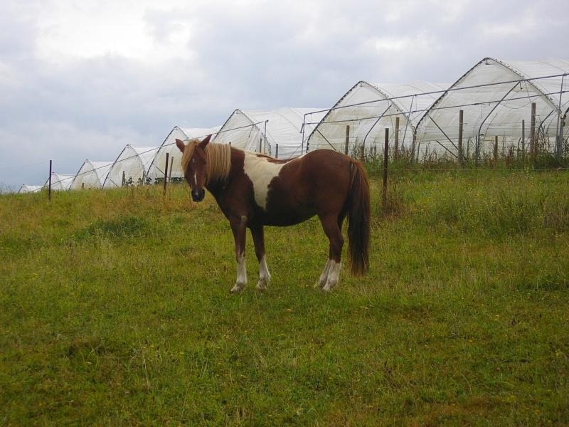 INDIANA - ONC poney typée shetland présumée née en 2000 - adoptée en juillet 2013 - Page 2 Imgp2411