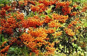 fruit de la passion  Pyraca10