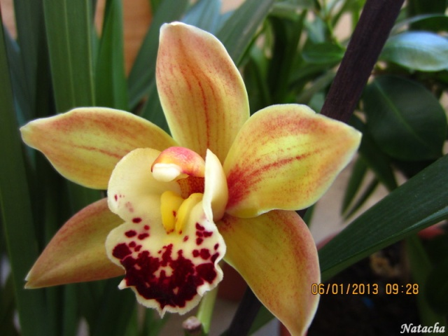 cymbidium marron jaune Img_5710