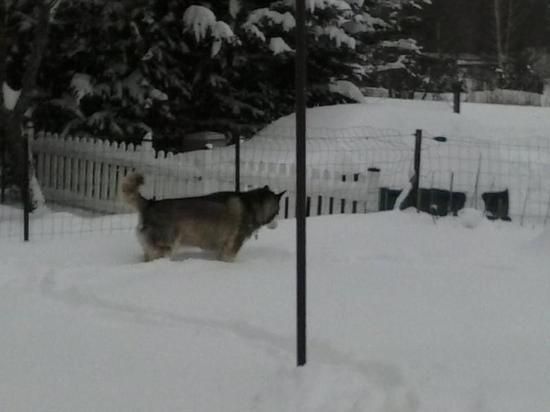 BACCHUS husky sibérien né 2000 calme et docile REF:05  DECEDE - Page 2 48530010