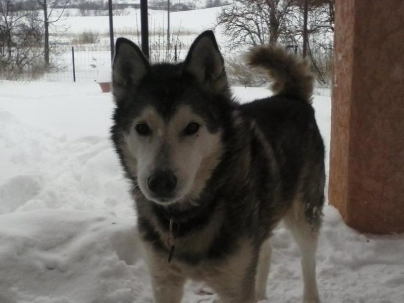 BACCHUS husky sibérien né 2000 calme et docile REF:05  DECEDE - Page 2 56161010