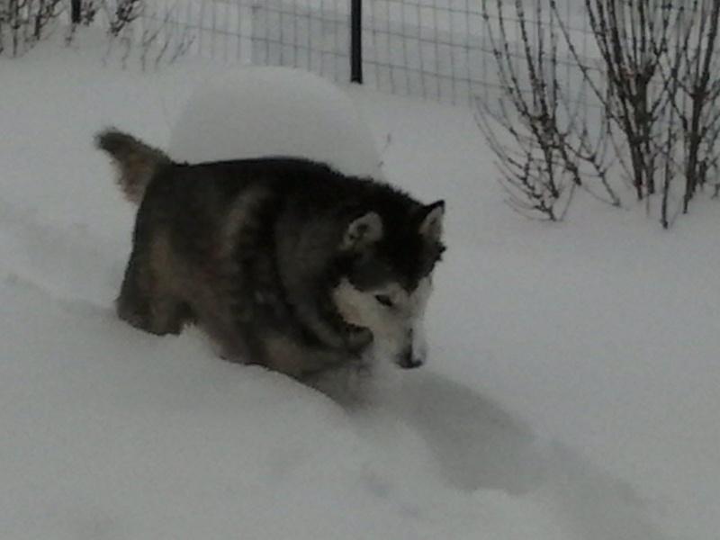 BACCHUS husky sibérien né 2000 calme et docile REF:05  DECEDE - Page 2 81927410