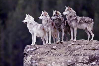 A wolf's song Time_r10