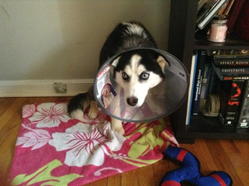 Mishka and I's Spay Experience Cone-a10