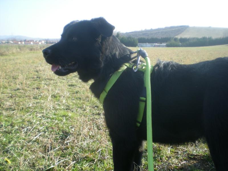 DARIK (mâle croisé labrador) Dscn5642