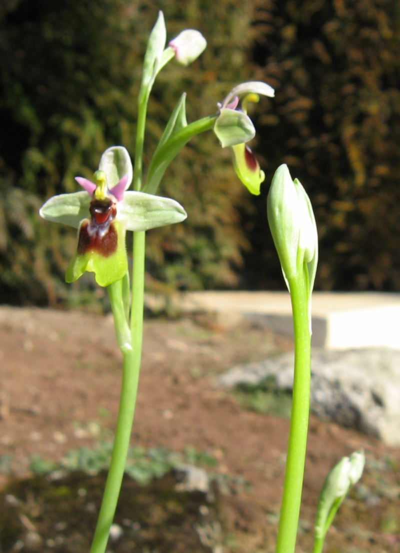 Ophrys Saison 2013 - Seite 3 Ophrys10