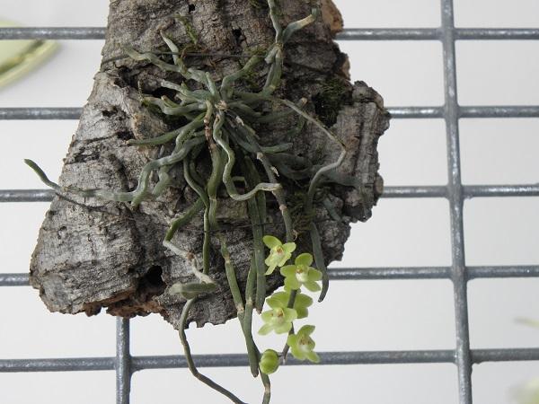 Miniatur- Orchideen - Seite 2 Chilos10