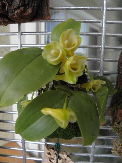 Miniatur- Orchideen - Seite 2 Dendro13
