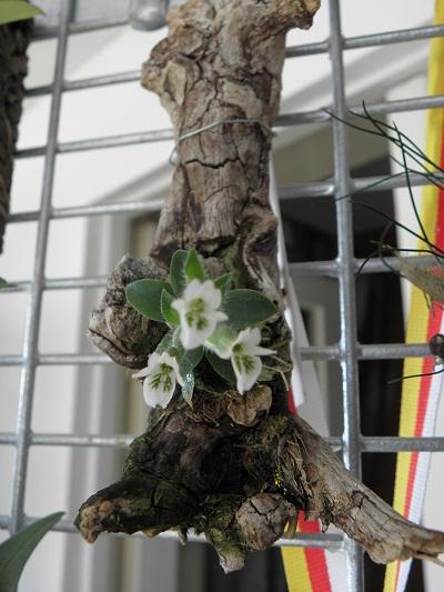 Miniatur- Orchideen - Seite 2 Lankes11