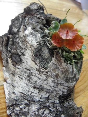 Miniatur- Orchideen - Seite 2 Lepant12