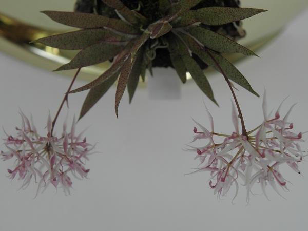 Miniatur- Orchideen - Seite 2 Macroc10