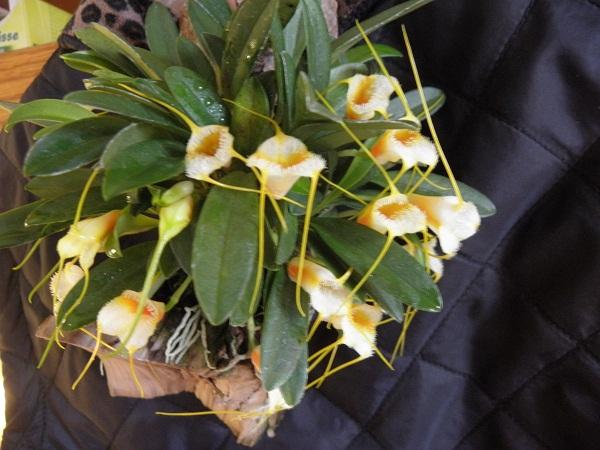 Miniatur- Orchideen - Seite 2 Masdev10
