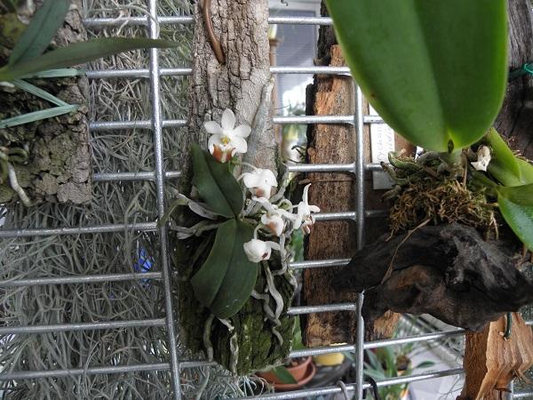 Miniatur- Orchideen - Seite 3 Phalae10