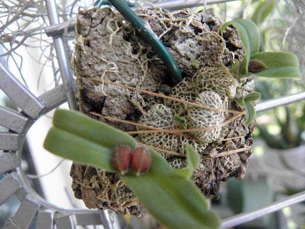 Miniatur- Orchideen - Seite 3 Porpax10