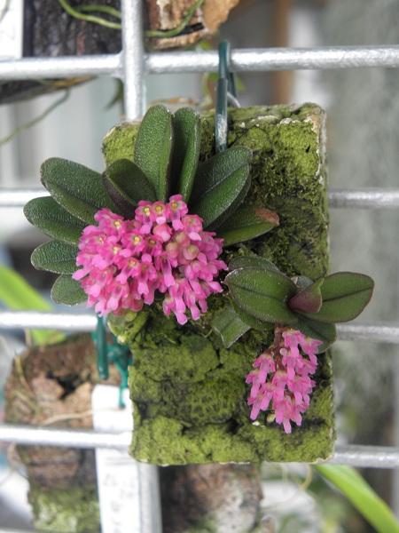 Miniatur- Orchideen - Seite 2 Schoen10