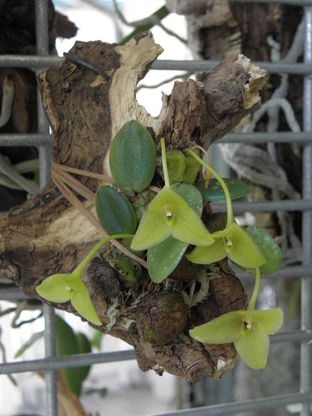 Miniatur- Orchideen - Seite 2 Trias_12
