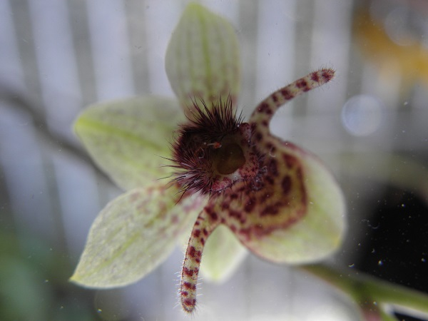 Miniatur- Orchideen - Seite 3 Tricho11