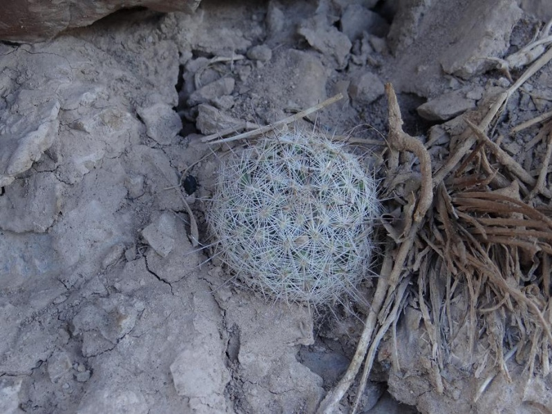 Several Mexican Mam/Coryphantha ID's needed Mammil10