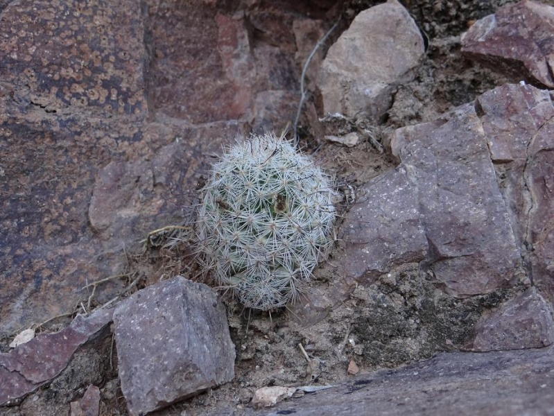 Several Mexican Mam/Coryphantha ID's needed Mammil11