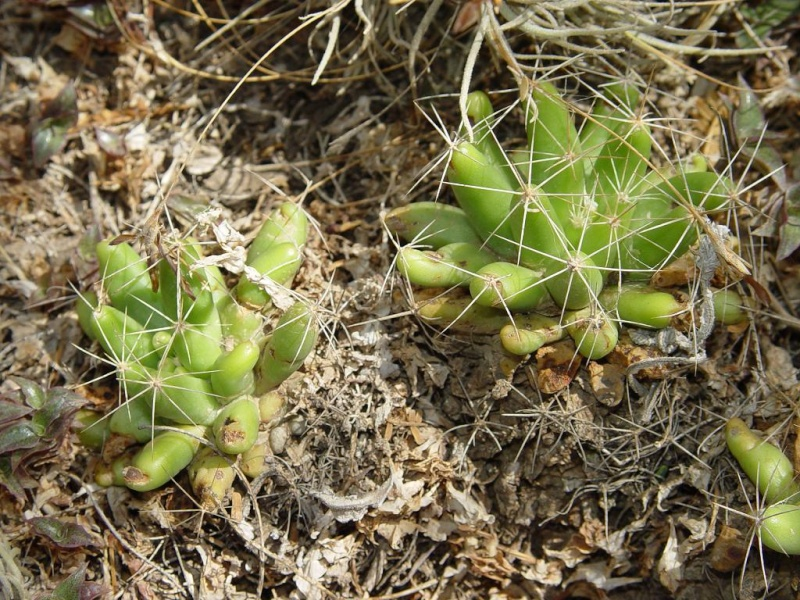 Several Mexican Mam/Coryphantha ID's needed Mammil12