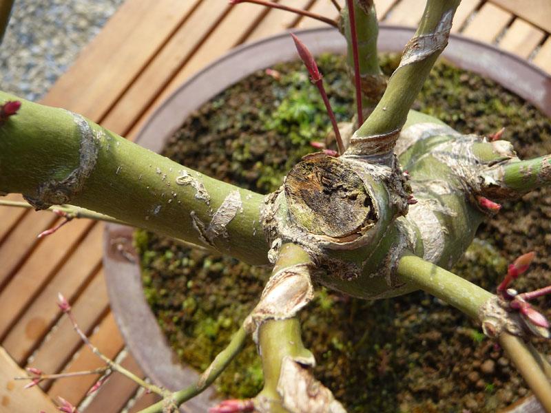 Conseils pour mon premier pré-bonsaï P1070810