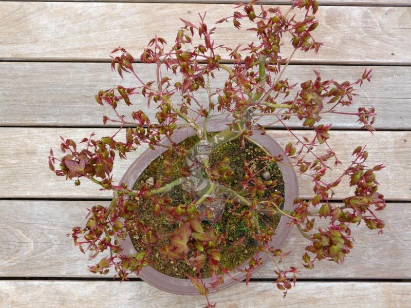 Conseils pour mon premier pré-bonsaï P1070815