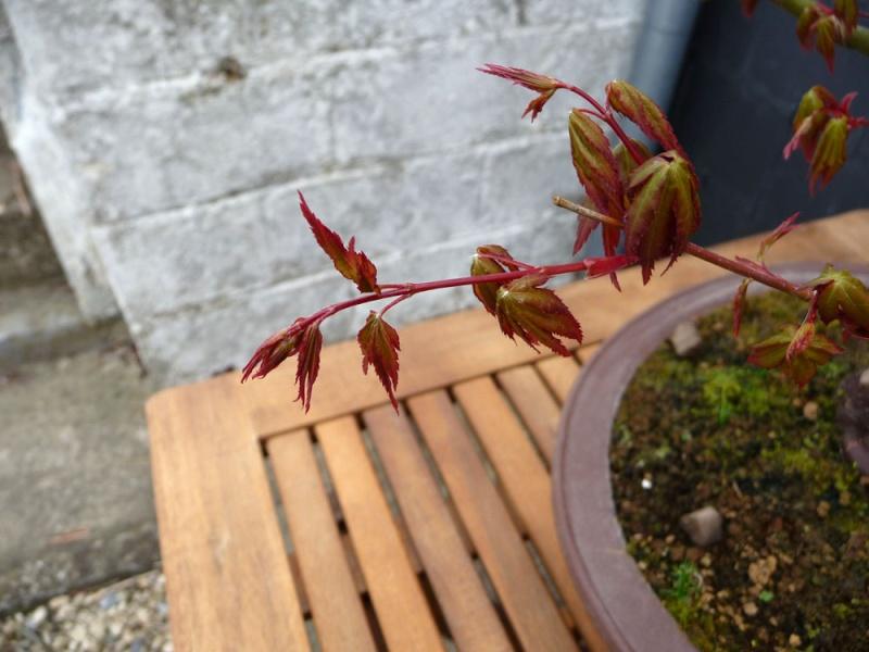 Conseils pour mon premier pré-bonsaï P1070816