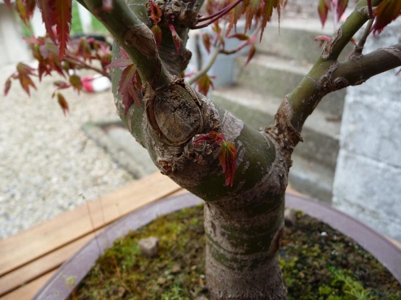 Conseils pour mon premier pré-bonsaï P1070817
