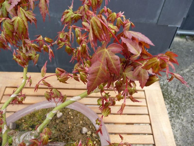 Conseils pour mon premier pré-bonsaï P1070818