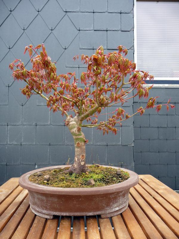 Conseils pour mon premier pré-bonsaï P1070819