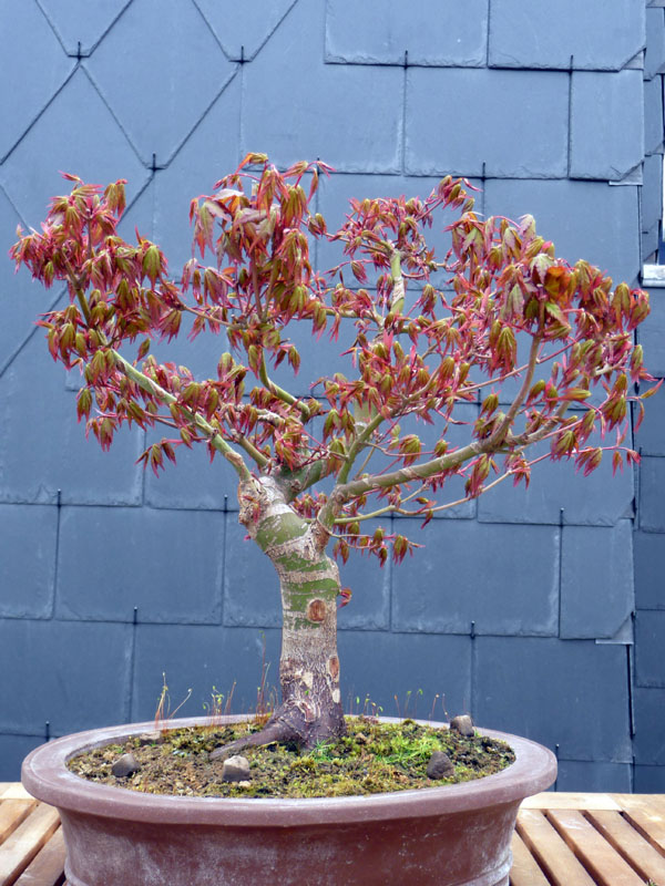 Conseils pour mon premier pré-bonsaï P1070820