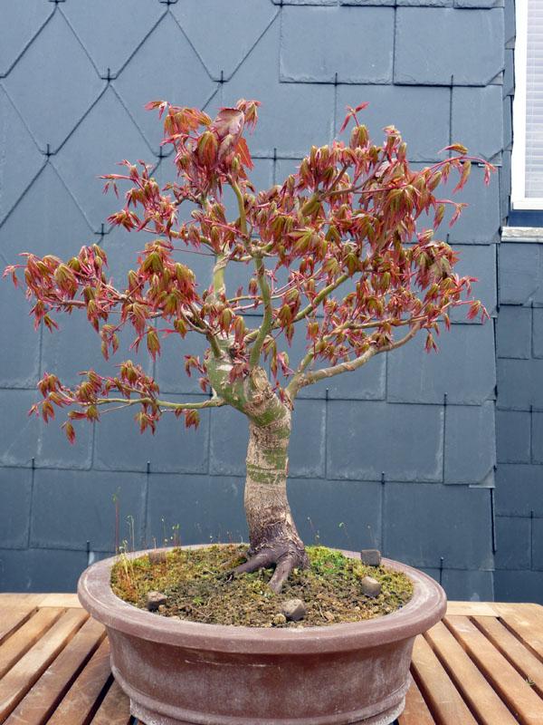 Conseils pour mon premier pré-bonsaï P1070821