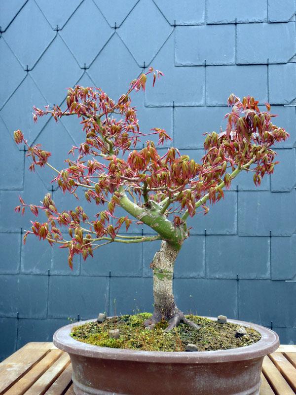 Conseils pour mon premier pré-bonsaï P1070822