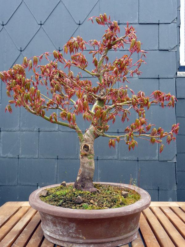 Conseils pour mon premier pré-bonsaï P1070823