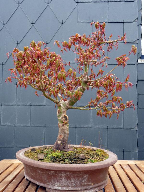 Conseils pour mon premier pré-bonsaï P1070824