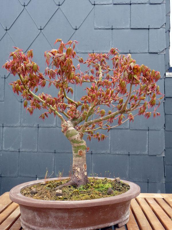 Conseils pour mon premier pré-bonsaï P1070825