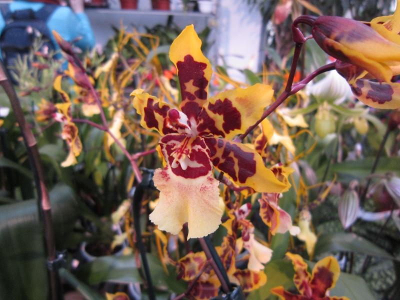 Orchideenausstellung Frankfurt Palmengarten Img_1611