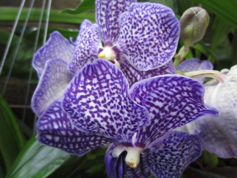 Orchideenausstellung Frankfurt Palmengarten Img_1612