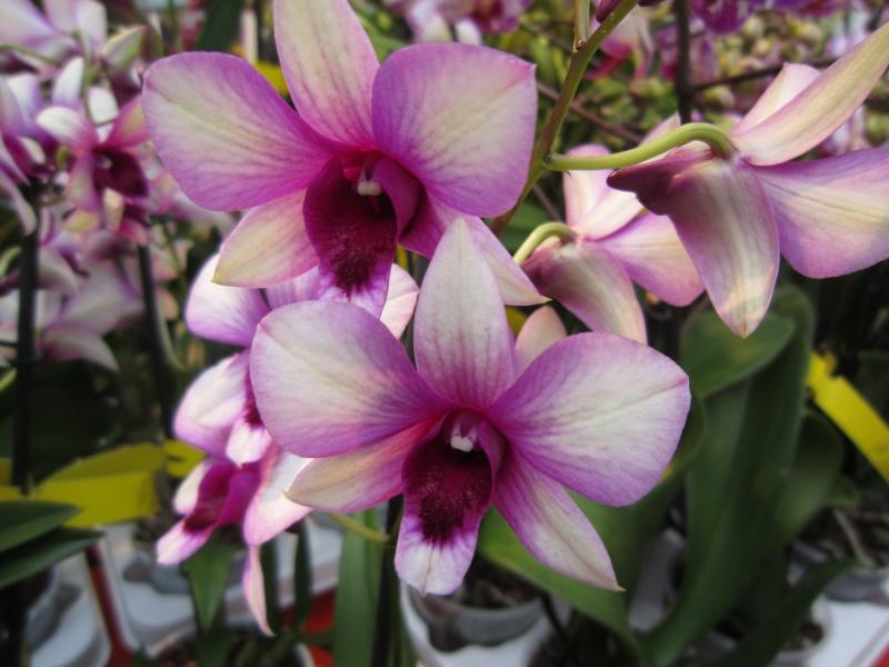 Orchideenausstellung Frankfurt Palmengarten Img_1613