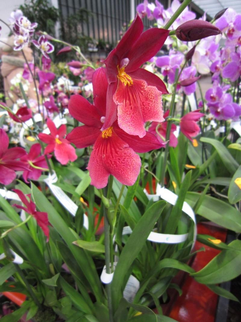 Orchideenausstellung Frankfurt Palmengarten Img_1714