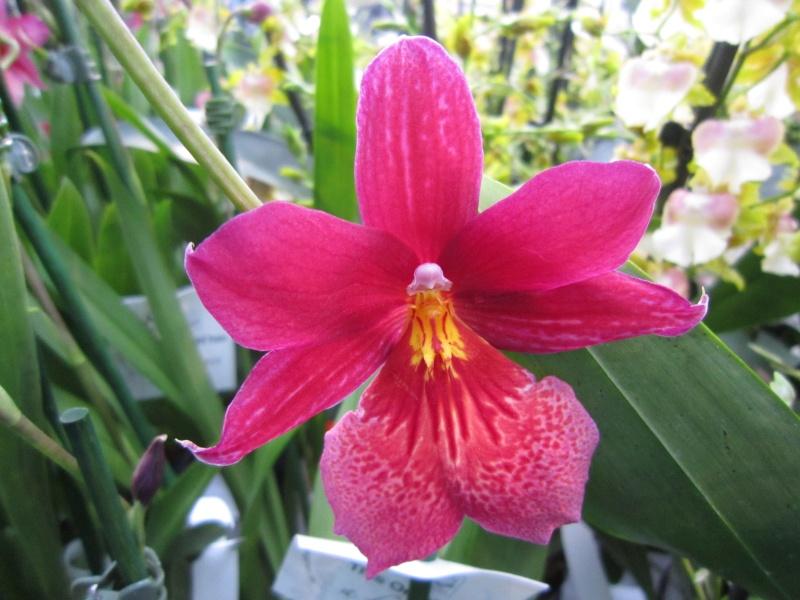 Orchideenausstellung Frankfurt Palmengarten Img_1811