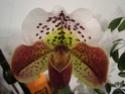Hängende Blätter bei meinem Frauenschuh Paphio13
