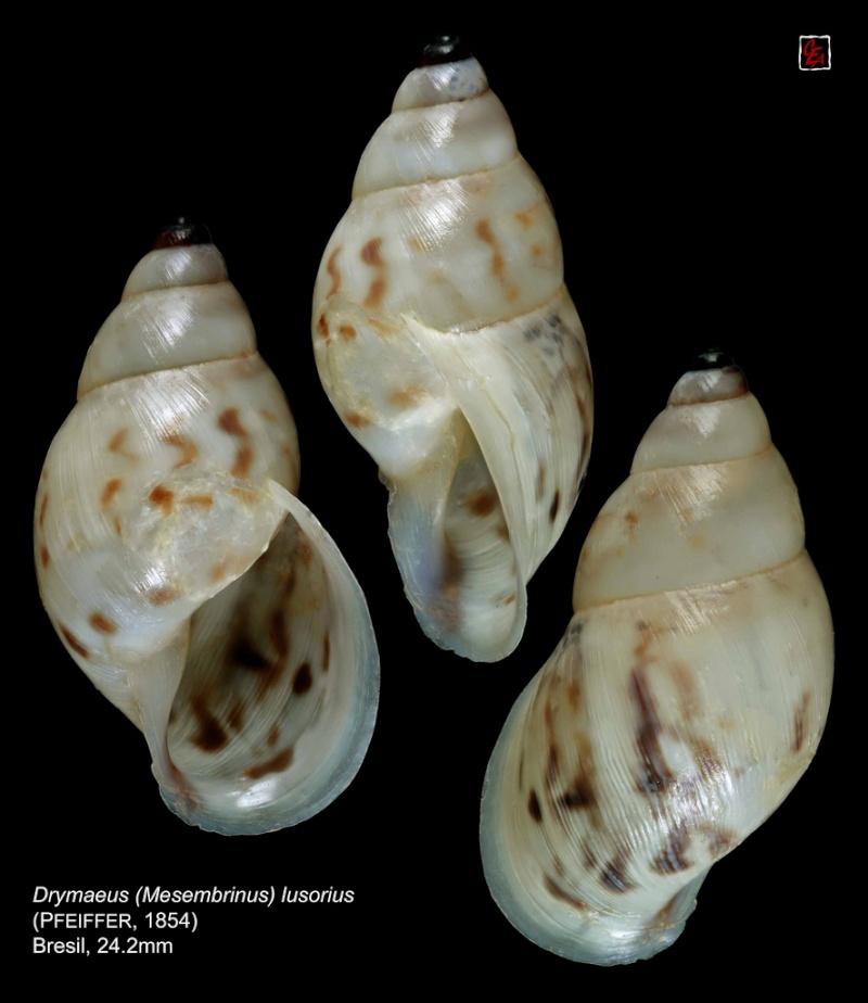 Propositions & avancées dans le forum des mollusques continentaux. - Page 7 94186310