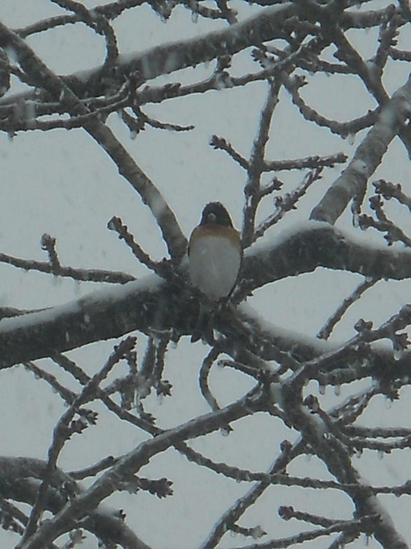"""Qui est cet oiseau ? Pinson du Nord"""" Oiseau14"""